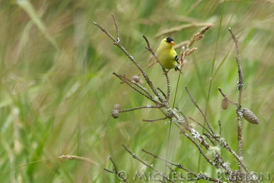 Male American aoldfinch feeds on seeds from tall grasses