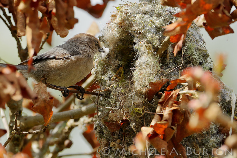 Bushtits constructing nest from moss, lichen, spider webs and other ephemera