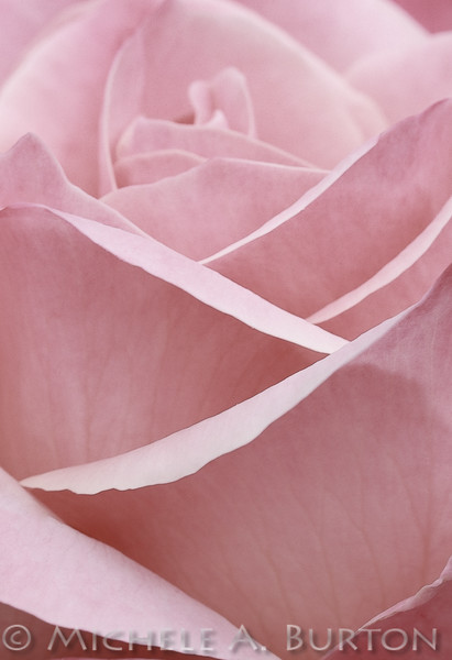Pink rose at Tumwater's Centennial Rose Garden