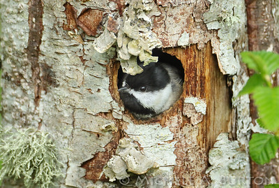 Black-capped chickadee peeks out from its nest hole in an alder snag