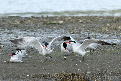 Adult male Caspian tern presents fish to adult female