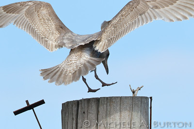 Gull about to land on a piling at Swantown Marina, Olympia