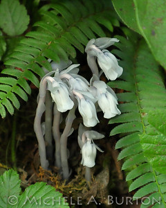 THe ghostly flowers of the one-flower Indian-pipe stand out against the rich greens of the forest floor