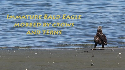 Immature Bald Eagle mobbed by crows and Caspian terns.  Olympia, WA June 1, 2020