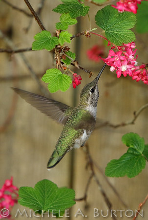 Anna's Hummingbird feeding on red flowering currant