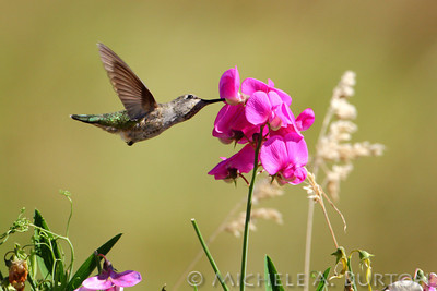 Anna's Hummingbird feeds on Sweet Pea at Lewis Creek Park