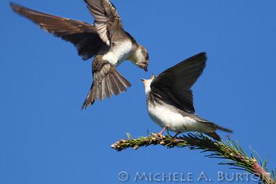 Adult Feeding Juvenile Tree Swallow at Black Lake Meadows
