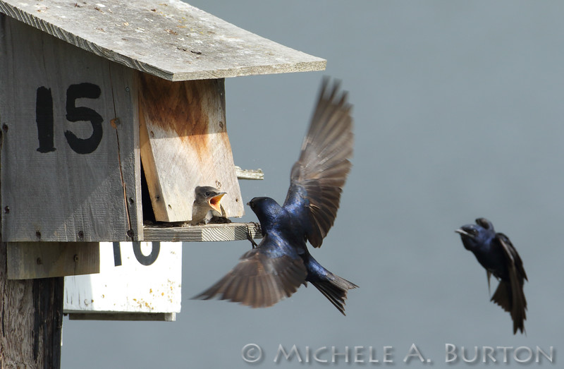 Male adult Purple martins approach the nest box while juvenile begs to be fed<br /> <br /> Port of Olympia<br /> Olympia, WA <br /> <br /> July 24, 2015
