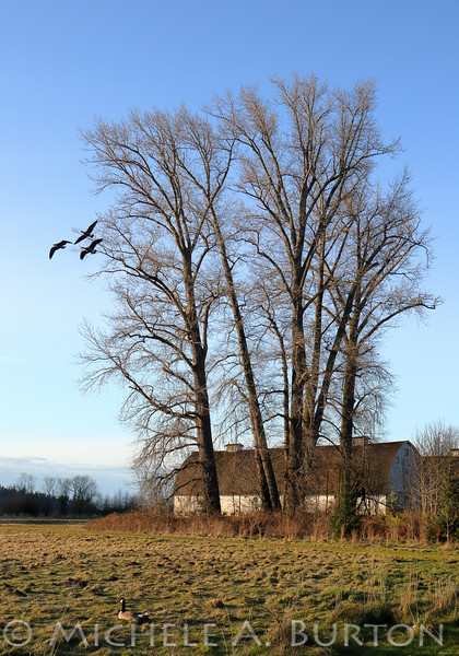 Canada geese fly past the majestic Black Cottonwood trees at Nisqually National Wildlife Refuge