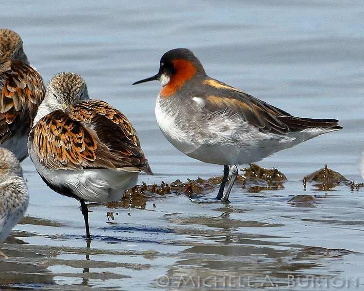 Red-necked phalarope during Spring shorebird migration at Bottle Beach State Park on Grays Harbor, Washington