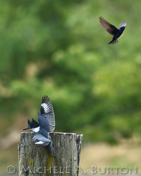 Adult Purple Martin dive bombs a Belted kingfisher while defending its nest<br /> <br /> Budd Inlet<br /> Olympia, WA<br /> July 12, 2015