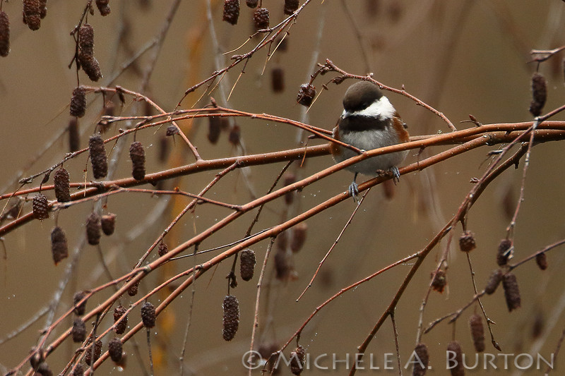 Chestnut-backed Chickadee perched on an alder branch
