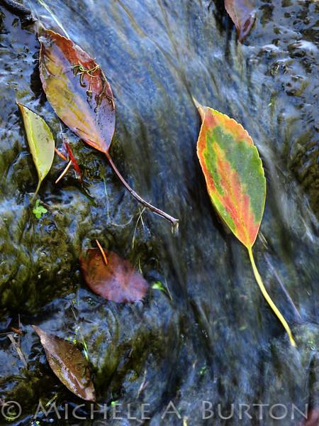 Leaves in a Stream <br /> Seattle Japanese Garden <br /> <br /> Washington Park Arboretum <br /> Seattle, WA<br /> June 30, 2013