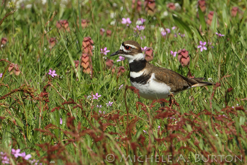 Adult Killdeer in the spring flowers