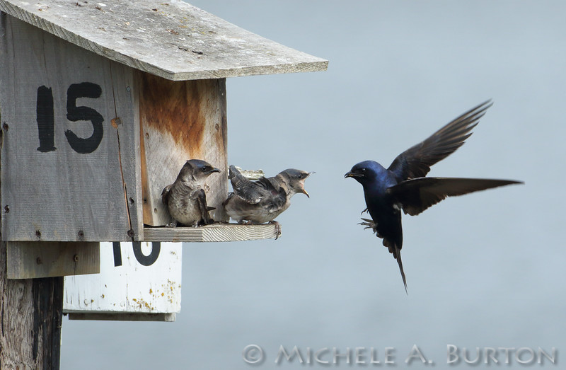 Male adult Purple martin flies towards the nest box while two juveniles wait for food<br /> <br /> Port of Olympia<br /> Olympia, WA <br /> <br /> July 24, 2015