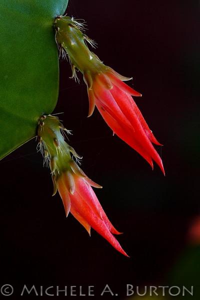 Hatiora cactus buds<br /> <br /> July 30, 2011