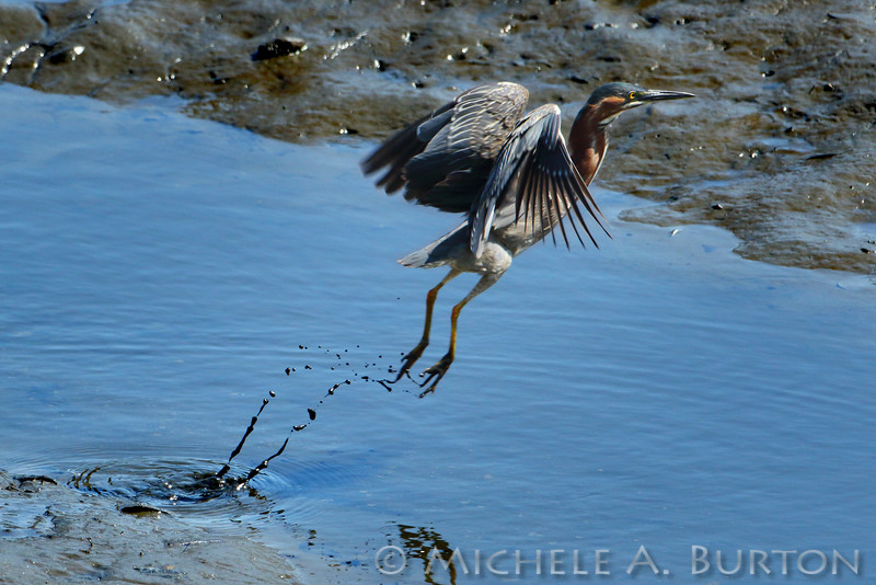 Green Heron taking flight<br /> <br /> Budd Inlet<br /> Port of Olympia<br /> <br /> May 30, 2015