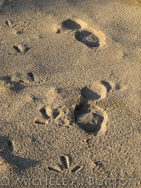 "Footprints in the Sand Human and Heron  Oregon Coast <a href=""http://micheleburton.blogspot.com/2011/04/photo-of-week-april-26-2011_26.html"">April 26, 2011 </a>"