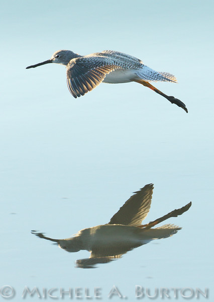 Greater yellowlegs in flight<br /> Mud Bay<br /> Olympia, WA<br /> <br /> January 1, 2016