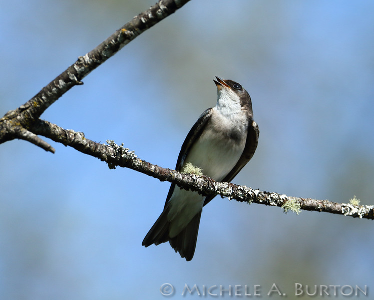 Tree Swallow perching on branch <i>Tachycineta bicolor</i>  Tumwater Historical Park Tumwater, WA  April 18, 2015
