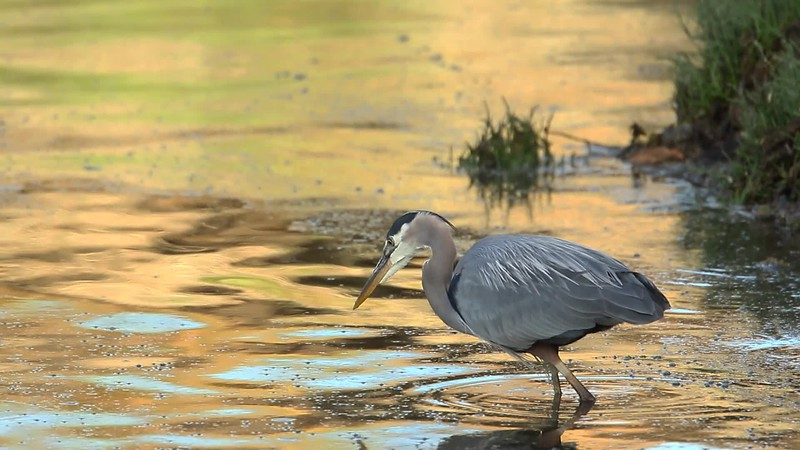 Great Blue Heron fishes in East Bay at the mouth of Moxlie Creek