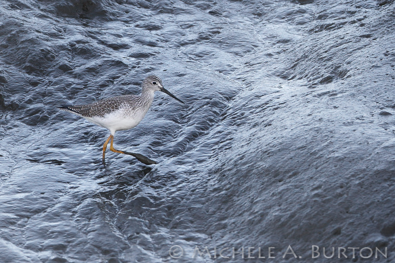 Greater yellowlegs foraging on the mud flats<br /> Mud Bay<br /> Olympia, WA<br /> <br /> January 1, 2016