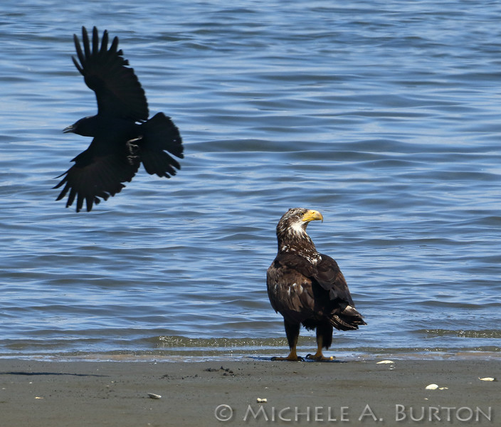 Bald eagle being mobbed by a crow on the beach. Budd Inlet, Olympia, WA