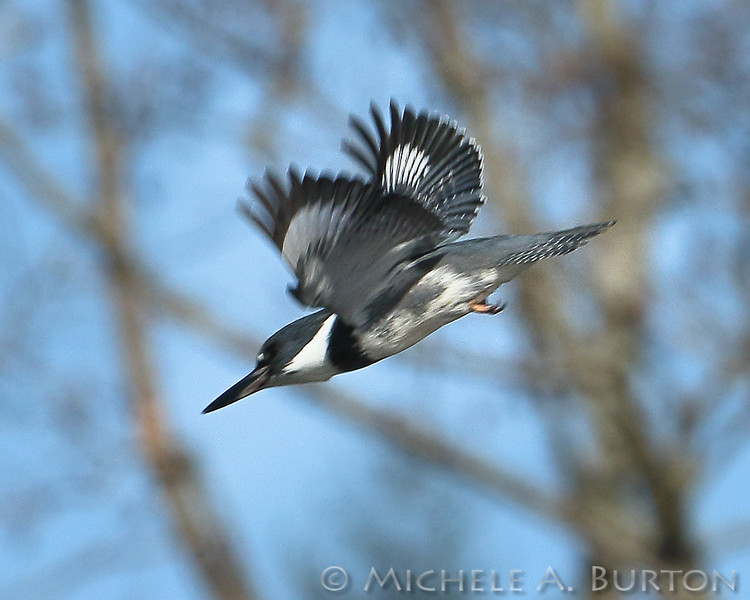 Belted Kingfisher diving