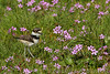 Fluffy baby Killdeer chick feeds among the pink spring flowers
