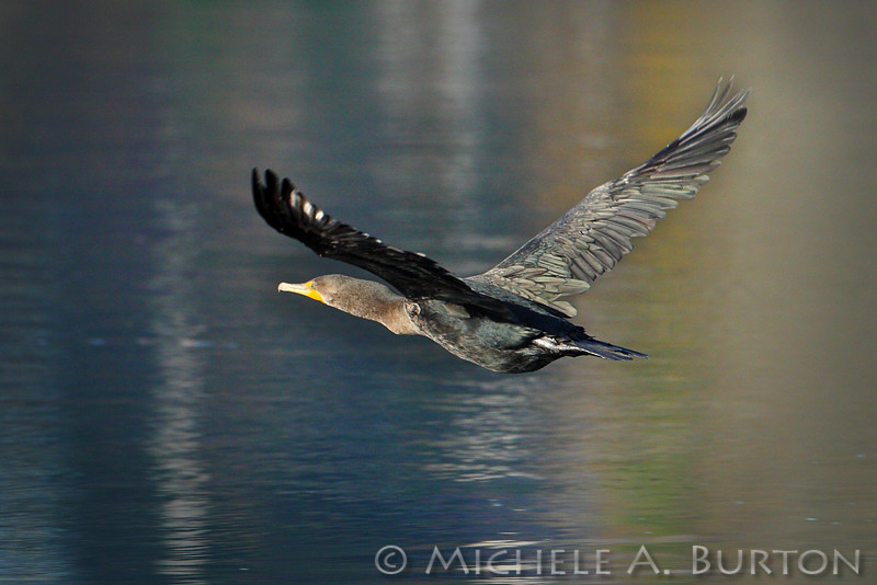 "Double-crested Cormorant in flight <i>Phalacrocorax auritus</i>  Budd Inlet Olympia, WA <a href=""http://micheleburton.blogspot.com/2013/11/photo-of-week-november-22-2013.html"">November 22, 2013</a>"