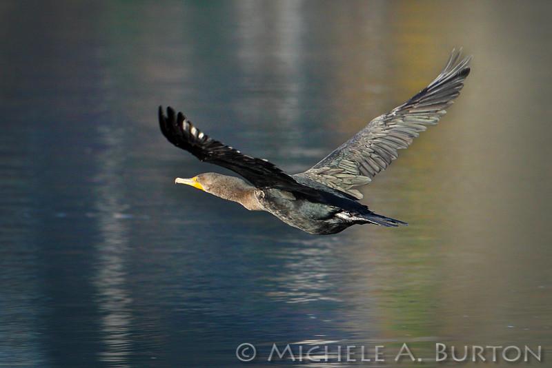 "Double-crested Cormorant in flight <i>Phalacrocorax auritus</i>  Budd Inlet Olympia, WA <a href=""http://micheleburton.blogspot.com/2013/11/photo-of-week-november-22-2013.html"">November 22, 2013</a>"