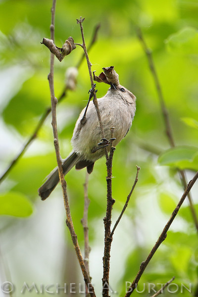 """Adult male Bushtit looking for food hidden in a dried leaf  <i>Psaltriparus minimus</i>  Capitol Lake Olympia, WA <a href=""""http://micheleburton.blogspot.com/2015/04/photo-of-week-april-21-2015.html"""">April 21, 2015</a>"""