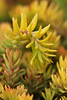 Stonecrop sedum - less than 1 inch tall<br /> Closed Loop Park<br /> Thurston County, WA<br /> <br /> April 28, 2016
