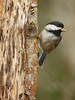 Black-capped Chickadee excavating a nest cavity  <i> Poecile atricapillus</i>  Black Lake Meadows Olympia, WA  March 18, 2015