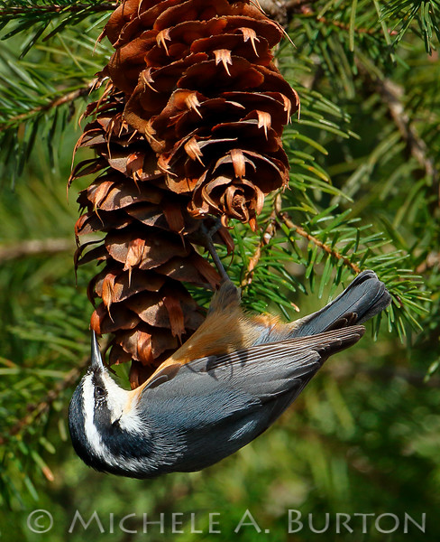 Red-breasted Nuthatch feeding on a Douglas Fir cone  <i> Sitta canadensis</i>  Black Lake Meadows Olympia, WA  March 6, 2015
