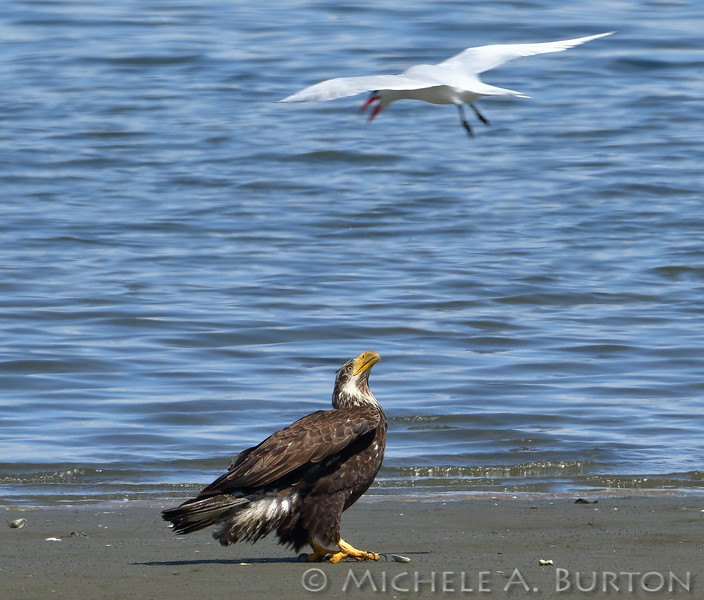 Bald eagle being mobbed by a Caspian tern on the beach. Budd Inlet, Olympia, WA