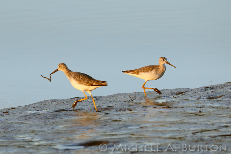 Greater yellowlegs  with worm captured on the mud flat<br /> Mud Bay<br /> Olympia, WA<br /> <br /> January 1, 2016