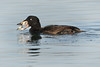 Male juvenile surf scoter eating a clam while feeding on Budd Inlet in Olympia, Washington