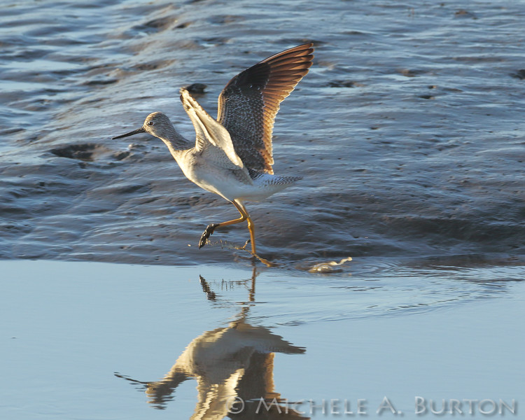 Greater yellowlegs <br /> Mud Bay<br /> Olympia, WA<br /> <br /> January 1, 2016