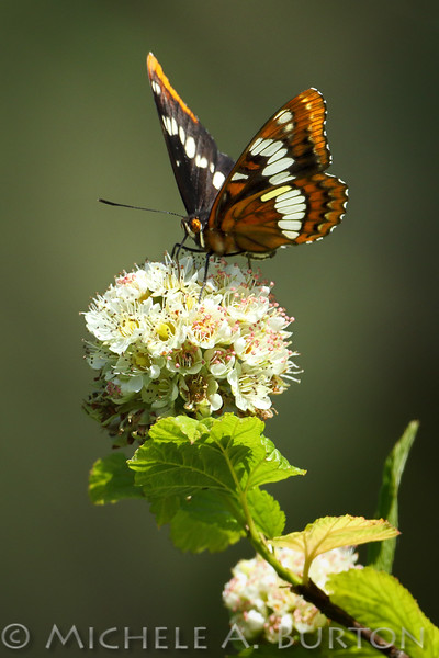 Lorquin's admiral butterfly nectaring on Pacific Ninebark flowers<br /> <br /> Black Lake Meadows<br /> Olympia, WA<br /> <br /> May 12, 2016