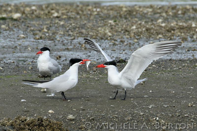 Adult male Caspian tern presents fish to adult female