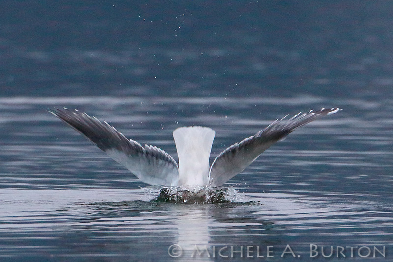 Gull Diving into Budd Inlet<br /> <br /> Olympia, WA<br /> January 30, 2015