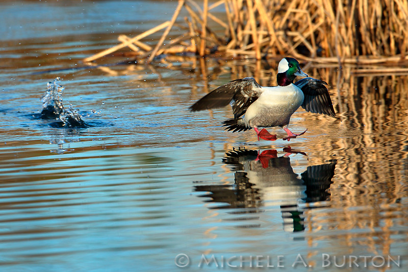 Bufflehead about to land after being chased by another male Bufflehead  <i>Bucephala albeola</i>  Magnuson Park Seattle, WA  February 23, 2015