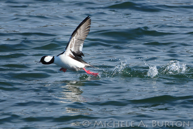 Male Bufflehead taking flight <i>Bucephala albeola</i>  NorthPoint Swantown Marina Olympia, WA February 7, 2014