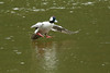 Male Bufflehead duck coming in for a landing at Woodard Bay Natural Resources Conservation Area