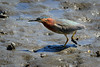 Green Heron foraging on the mud flats<br /> <br /> Budd Inlet<br /> Port of Olympia<br /> <br /> May 30, 2015