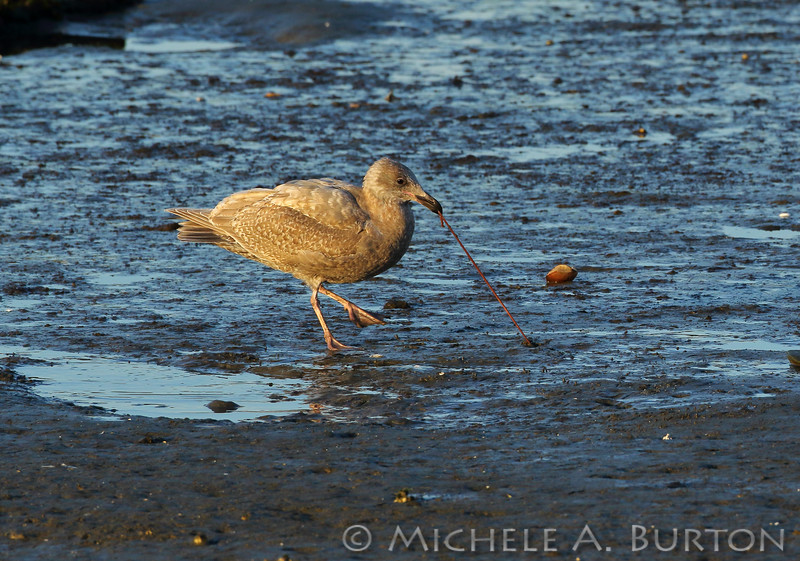 Gull eating marine lugworm on the beach at North Point, Olympia, WA<br /> March 19, 2020