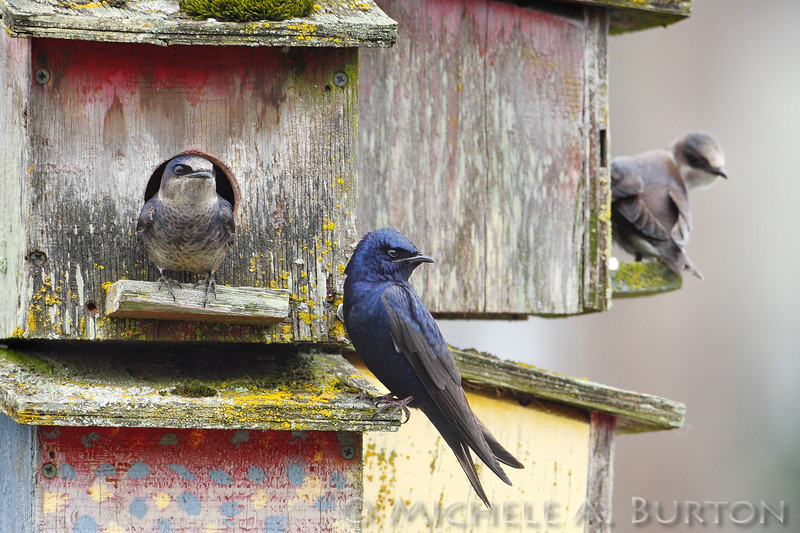 "Purple Martins at nesting boxes   Boston Harbor Marina Olympia, WA  <a href=""http://micheleburton.blogspot.com/2013/06/photo-of-week-june-3-2013_3.html"">June 3,2013</a>"