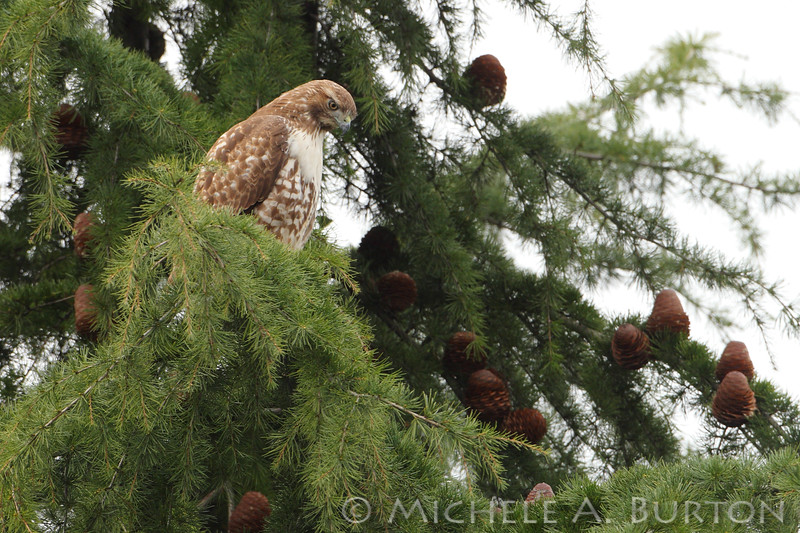 """Red-Tailed Hawk  Overlooking Interstate 5  Seattle, WA  <a href=""""http://micheleburton.blogspot.com/2013/03/photo-of-week-march-5-2013_5.html"""">March 5, 2013</a>"""