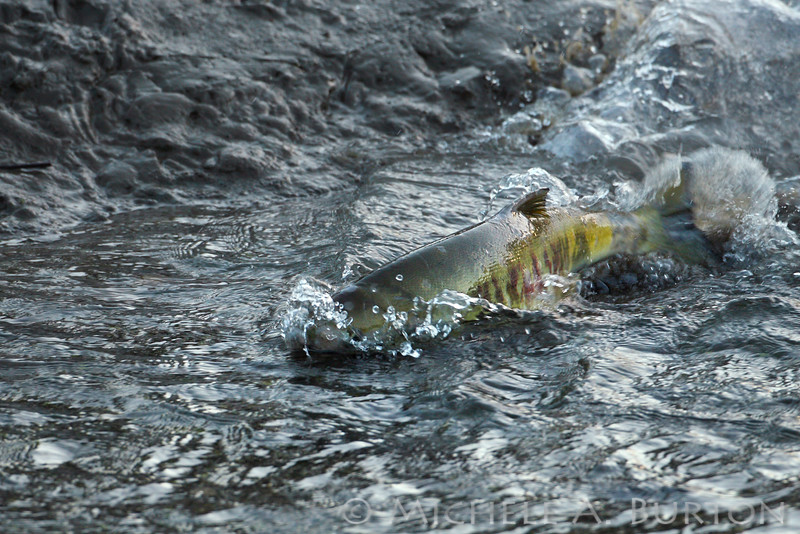 Chum Salmon spawning Allison Springs<br /> <br /> Olympia, WA <br /> December 23, 2013
